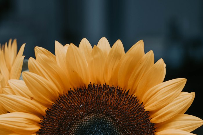 a piture of half a sunflower Photo by Juliana Araujo on Unsplash