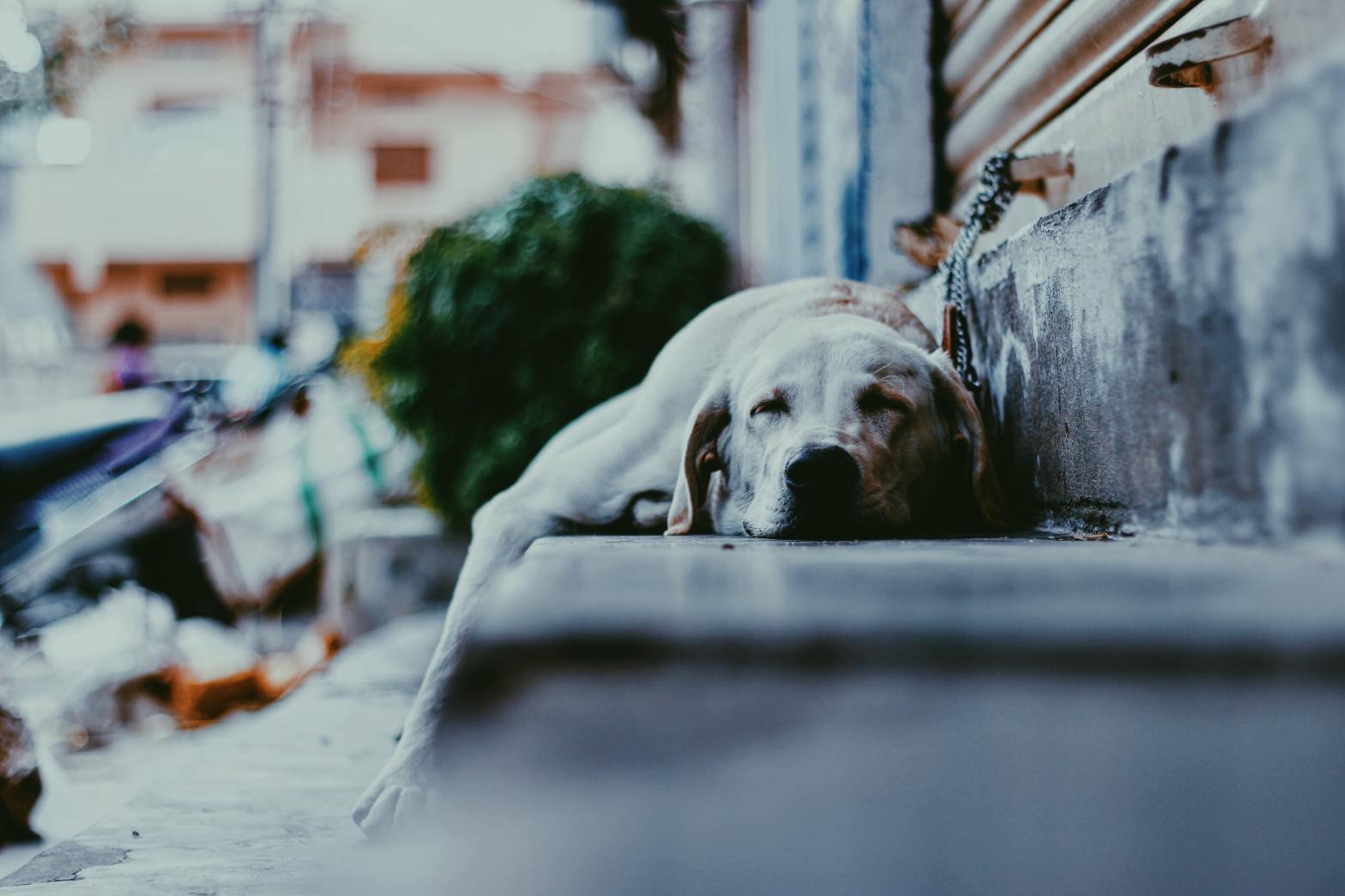 adult yellow labrador retriever sleeping on the street Photo by Sashank Saye on Unsplash